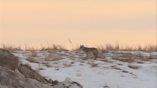 Coyotes have been spotted in Saskatoon