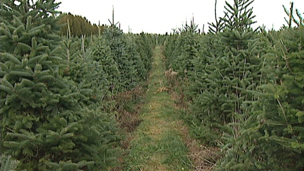 Christmas trees are seen at a farm in Waterloo, Ont.