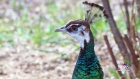 CTV Saskatoon: Peacock moves in to family's yard