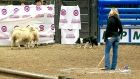 CTV Saskatoon: Stock dogs highlight Agribition