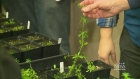 CTV Saskatoon: Producers urged to tackle weeds