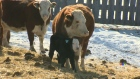 CTV Saskatoon: Feed rations key for cattle