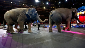 Ringling Bros. and Barnum & Bailey elephants leave the exhibition area after eating during a brunch at Prudential Center, Thursday, March 10, 2016, in Newark, N.J. (AP / Julio Cortez)