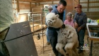 CTV Saskatoon: Producer markets alpaca fiber