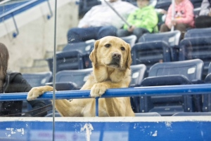 Guide dog Graham watches Mike Simmonds at a Courage Canada blind hockey tournament. (Alex Bruce Photography/mikesimmonds.com)