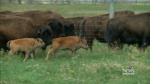 In vitro bison calves born in Saskatoon