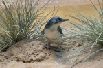 """In this July 25, 2016 photo provided by the Wildlife Conservation Society, a """"little penguin"""" chick is shown in its habitat at the Bronx Zoo in New York. (Julie Larsen Maher/Wildlife Conservation Society via AP)"""