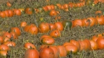 Prolific production year for pumpkins